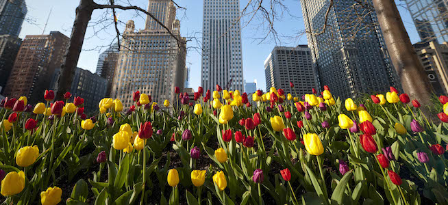 Chicago tulips